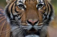 Una tigresa de zoológico de Nueva York dio positivo por coronavirus