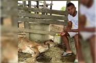 El futbolista Miguel Ángel Borja, denunció que una de sus vacas fue violada y maltratada