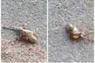Avispón asesino mató ratón