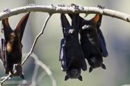 Una nueva enfermedad bacteriana vinculada a los murciélagos es estudiada en Nueva Caledonia