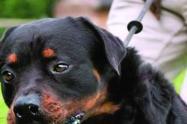 El canino atacó a los uniformados por orden de su amo.