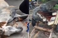 Caballo sacrificado en Barranquilla