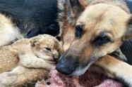 Perrita adoptó a dos cachorros de león que abandonó su madre