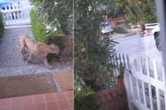 Puma se apareció en una calle y casi ataca a unos niños de California, Estados Unidos.