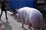 Rechazo a rifa de cerdos y pollos vivos, para 'marranadas' y 'sancochadas' en Medellín