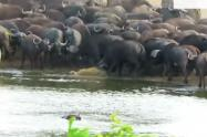Leona murió violentamente atacada por búfalos