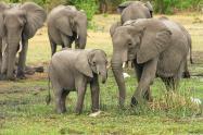 Manada de elefantes habría pisoteado a un cazador