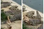 Pato se salva de ser comido por cocodrilos