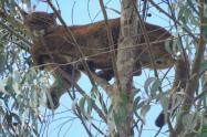 Puma en la cima del árbol