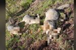 Envenenan, al parecer, a cuatro zorros perrunos en San Vicente, Antioquia