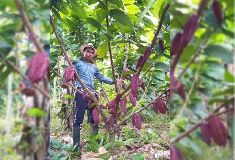En San Vicente de Chucurí el año pasado hubo producción de 9 mil toneladas de cacao.