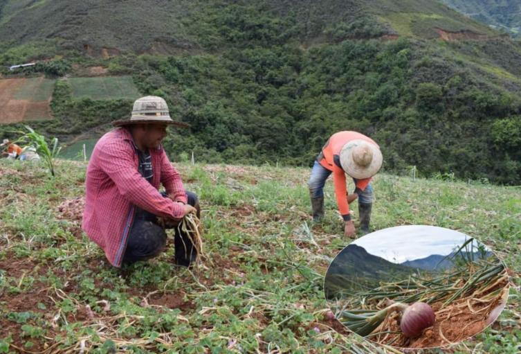 8.000 toneladas de cebolla se perdieron