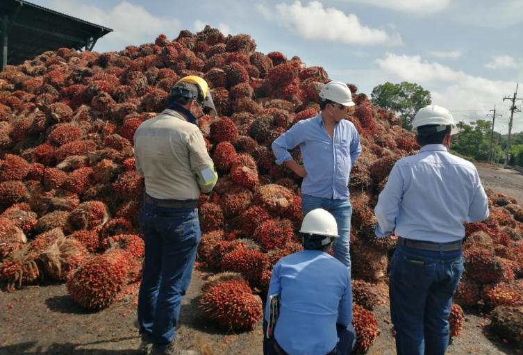 12.000 toneladas del fruto de la palma se pueden perder