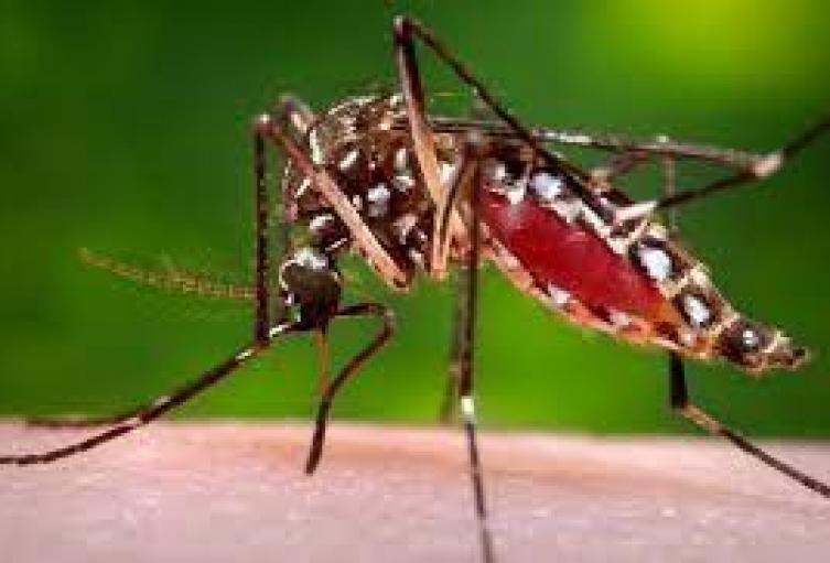Mosquito Aedes Aegipty