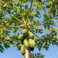 Pérdidas en cultivos de papaya