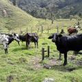 Vacas que dan leche