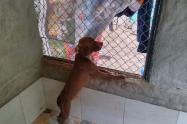 En custodia perro pitbull que atacó a una mujer y su hija en zona rural de Piedecuesta, Santander