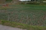 Cerca de 500 toneladas de cebolla se están perdiendo
