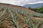 'Piñatón', la campaña de los santandereanos para ayudar a los productores de piña de San Gil