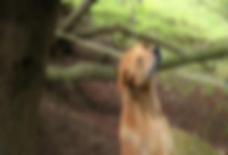 Canino ahorcado