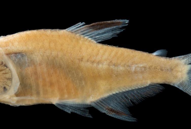 Grupo de Investigación en Zoología de la Universidad del Tolima descubre nueva especie de Pez
