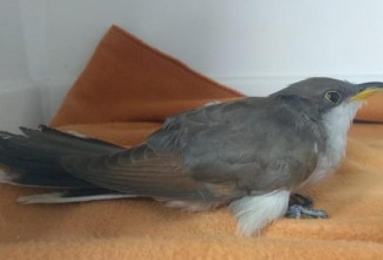 El ave tenía signos de agotamiento, baja condición corporal y un trauma en el ala derecha