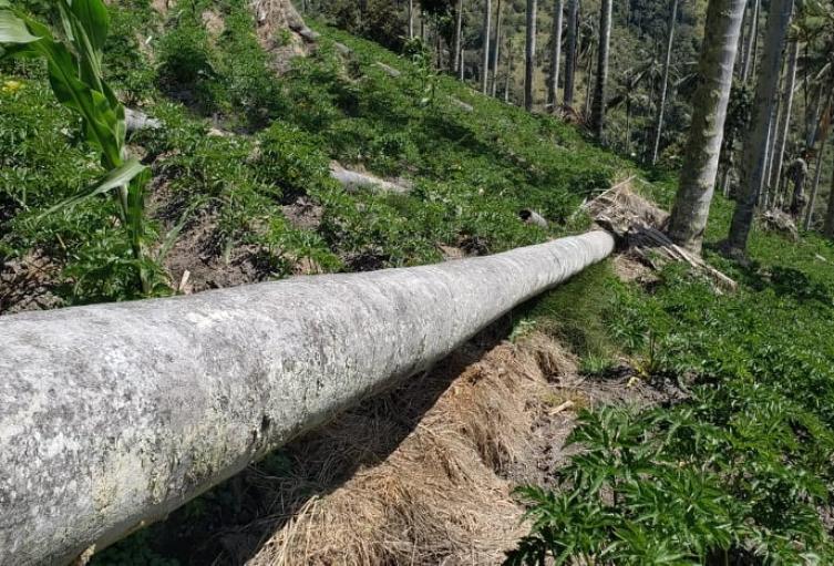 Se está produciendo volcamiento de palmas de cera como consecuencia de un cultivo de arracacha