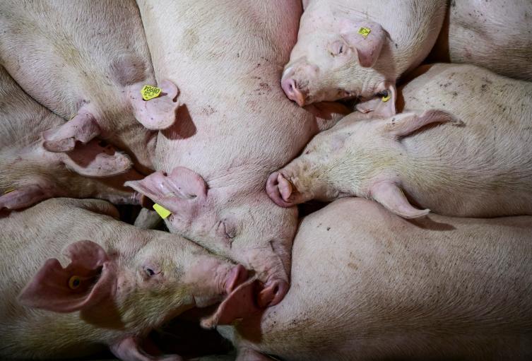 Peste porcina africana ya está en Latinoamérica | Alerta Tolima