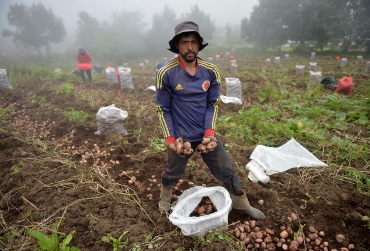 Campesino recolecta papas en una finca del municipio de Sibate, cerca de Bogotá.
