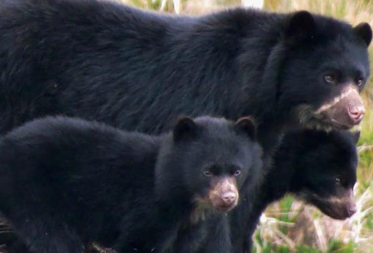 Así-se-comporta-el-oso-de-anteojos-en-las-reservas-naturales-de-Colombia.jpg