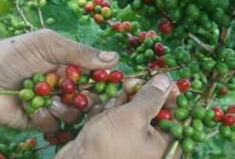Bajos-precios-del-café-están-desatando-una-crisis-humanitaria-en-Colombia.jpg