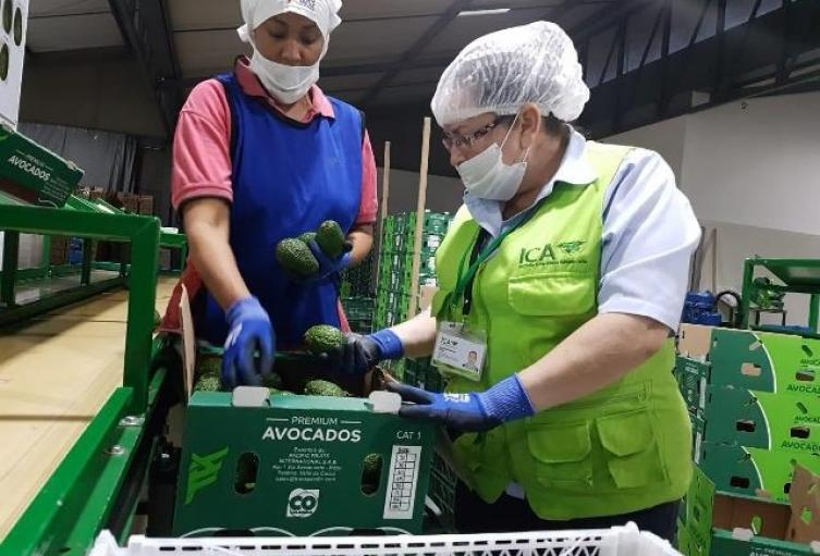 aguacateargentina1.jpg