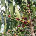 Cafetal en Risaralda