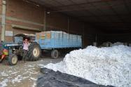 Alrededor de 8 mil hectáreas de algodón son cultivadas en el Tolima