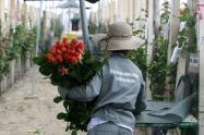 Rosas cultivadas por mujeres de Boyacá, enamoran en los Estados Unidos