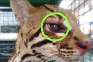 El felino fue avistado hace dos semanas por la comunidad del sector en Icononzo