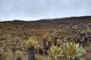 Valle de frailejones en el páramo de Murillo, Tolima.