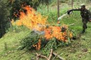 Los Soldados realizaron la respectiva erradicación del cultivo de más de 300 matas de marihuana, para su posterior quema controlada