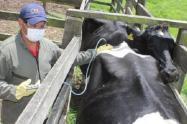 A la fecha en el Tolima se han vacunado 173.650 cabezas de ganado