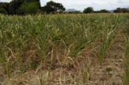 Afectaciones en cultivos de maíz