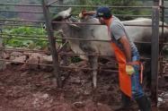 Vacunación bovina