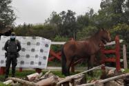 Policía recuperó caballo robado en Murillo
