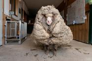 Oveja con 35 kilos de lana