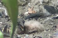 Polluela de cóndor de los Andes