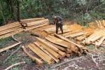 Tala ilegal de arboles en Tolima
