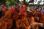 Más de 25 mil gallinas robadas en finca en Repelón (Atlántico)