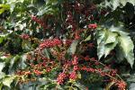 En riesgo segunda cosecha cafetera por causa de ola invernal en el Huila