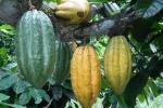 Cacao Huila